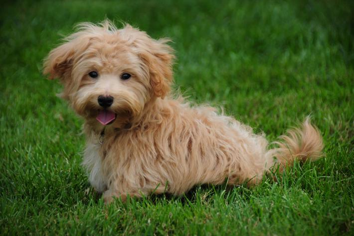 Brown-small-dog-grass-outdoors-182188522.jpg
