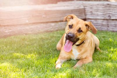Happy Dog with a Friendly Smile iStock_000043107966_Large.jpg