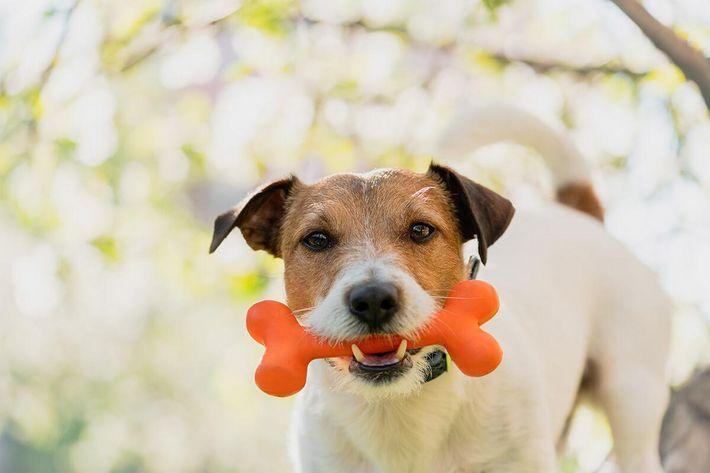 Dog-Jack-Russle-ToyGettyImages-1136222007.jpg