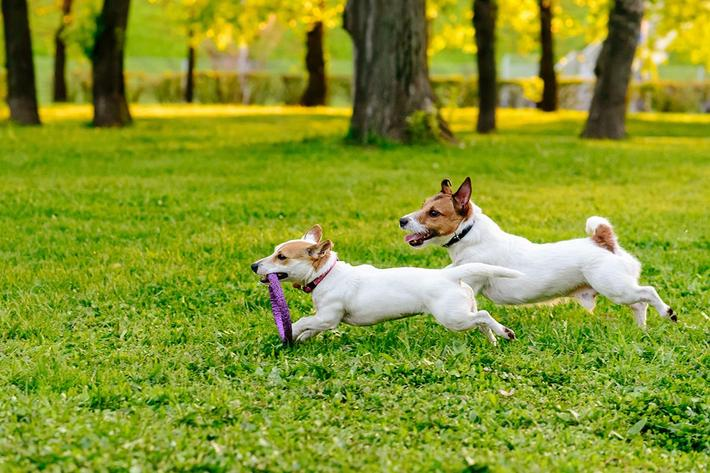 Two dogs running at park.jpg