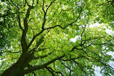 Mighty Oak Tree from below iStock_76880789_LARGE.jpg