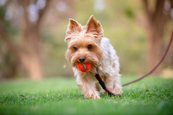 Dog wth red ball - GettyImages-1054915876.jpg