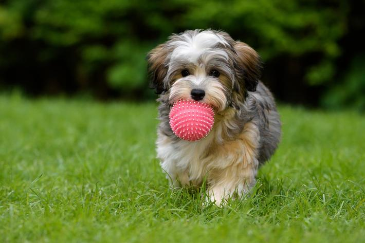 Playful havanese puppy brings a pink ball in the grass iStock-687803138.jpg