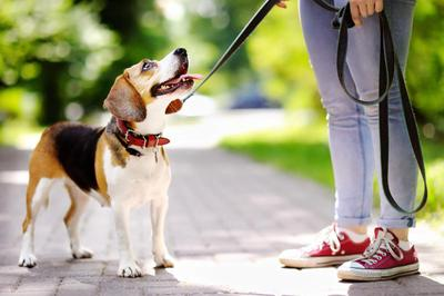 Dog on leash - iStock-547019638.jpg